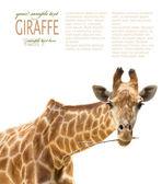 Close up of giraffe — Stock Photo