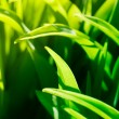 Stock Photo: Grass macro