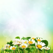Spring background with daisies — Stock Photo