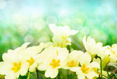 Fresh primrose flowers in the sunny meadow — Stock Photo