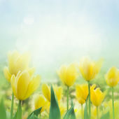 Yellow tulips — Stock fotografie