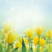 żółte tulipany — Zdjęcie stockowe