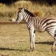 Photo: Juvenile wild zebra