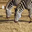 Wild zebra couple grazing — Stock Photo