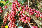 Fresh coffee grains on plant — Stock Photo