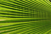 Palm tree leaf detail — Stock Photo