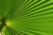 Palm tree leaf macro shot — Stock Photo