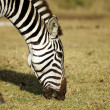 Wild common zebra grazing portrait — Stock Photo