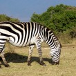 Wild common zebra grazing — Stock Photo
