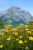 Flores amarillas en los alpes suizos — Foto de Stock