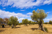 Olive Trees in the countryside — Stock Photo