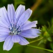 Common Chicory (lat. Cichorium intybus) — Stock Photo