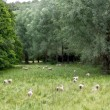 Stock Photo: Herd of sheeps with green meadow, Cotswolds, UK