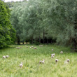 Herd of sheeps with green meadow, Cotswolds, UK — Stock Photo #7767446