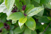 Sweetshrub (Calycanthus floridus) — Stock Photo