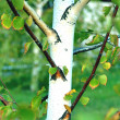 Stock Photo: Silver birch