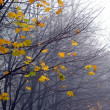Last maple leaves in the fog — Stock Photo