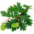 Stock Photo: Acorns oak branch