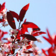 Stock Photo: Bloomig cherry