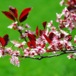 Stock Photo: Bloomig cherry tree