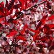 Bloomig cherry tree — Stock Photo