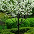 图库照片: Blooming tree