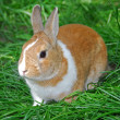 Bunny rabbit - Foto de Stock