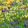 Crocus field — Foto Stock