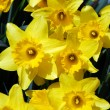 Stock Photo: daffodils