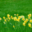 Stock Photo: Daffodils and grass