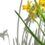 Daffodils and shadows — Stock Photo #6980398