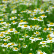 Stock Photo: Chamomile