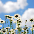 Daises with blue sky — Stock Photo