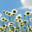 Daises with blue sky - Stock Photo