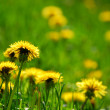 Blooming dandelions — Stock Photo #6980420