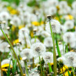Stock Photo: Seeding dandelions