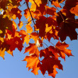 Fall Maple Leaves and Sky — Stock Photo #6980446