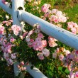 Stock Photo: Pink roses fence