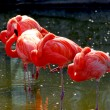 Flamingoes - Stock Photo