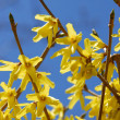Forsythia flower blue sky — Stock Photo