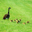 Mother goose - Stock Photo