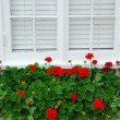 Geraniums on window - Zdjcie stockowe