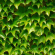 Royalty-Free Stock Photo: Green ivy background