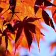 Maple leaves — Foto de Stock