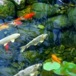Stock Photo: Koi pond