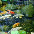 Koi pond - Stock Photo