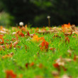 Leaves in grass — Stock Photo