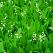 Stock Photo: Lily-of-the-valley