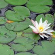 Water lily — Stock Photo #6980652