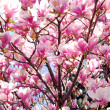 Blooming magnolia — Photo